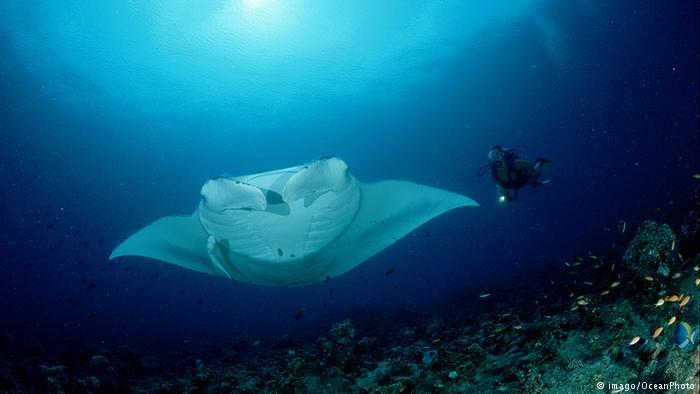Australien Meeresschutzgebiet Great Barrier Reef Mantarochen und Taucher (imago/OceanPhoto)