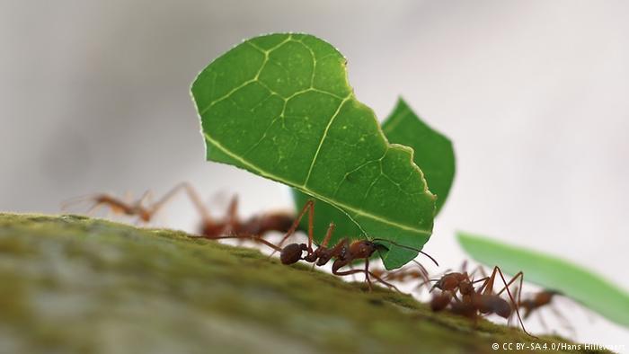 Leaf-cutter ants at Playa Blanca, Cahuita, Costa Rica (CC BY-SA 4.0/Hans Hillewaert)