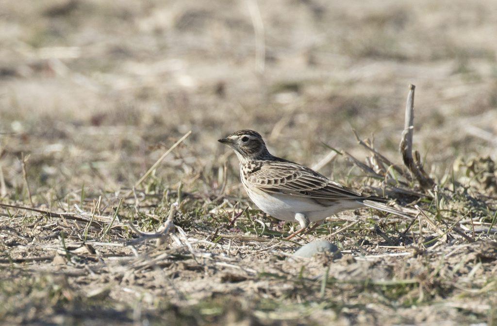 Eurasian Skylark Photo: Zeynel Cebeci