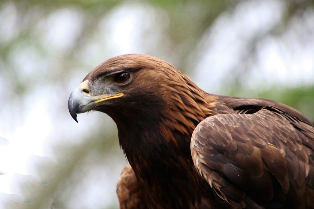 Golden Eagle Photo: Kdsphotos