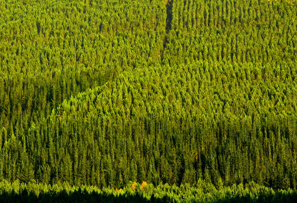 Pine tree plantation. Western Cape South Africa. Credit: Rodger Shagam / Alamy Stock Photo. G43WDF
