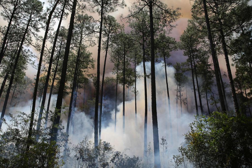 Prescribed burn, Longleaf Pine forest, US. Credit: Carol Dembinsky / Dembinsky Photo Associates / Alamy Stock Photo. G1GFXN
