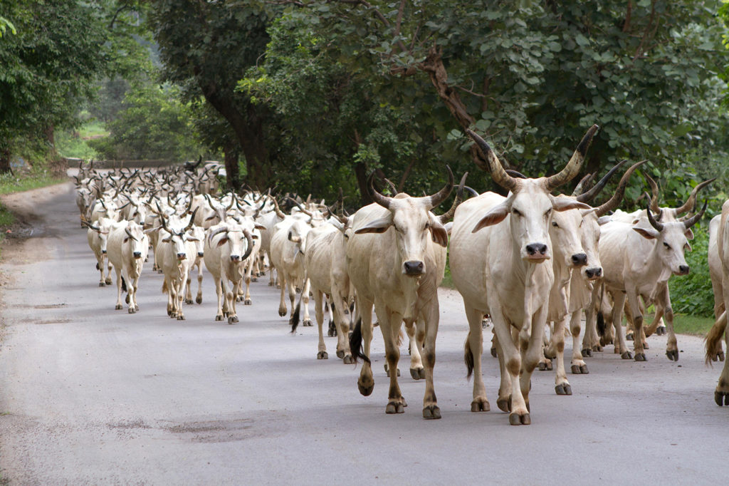 A herd of Indian cows near Mount Abu hill in Rajasthan, India. Credit: Kailash Kumar / Alamy Stock Photo. PG4NFB