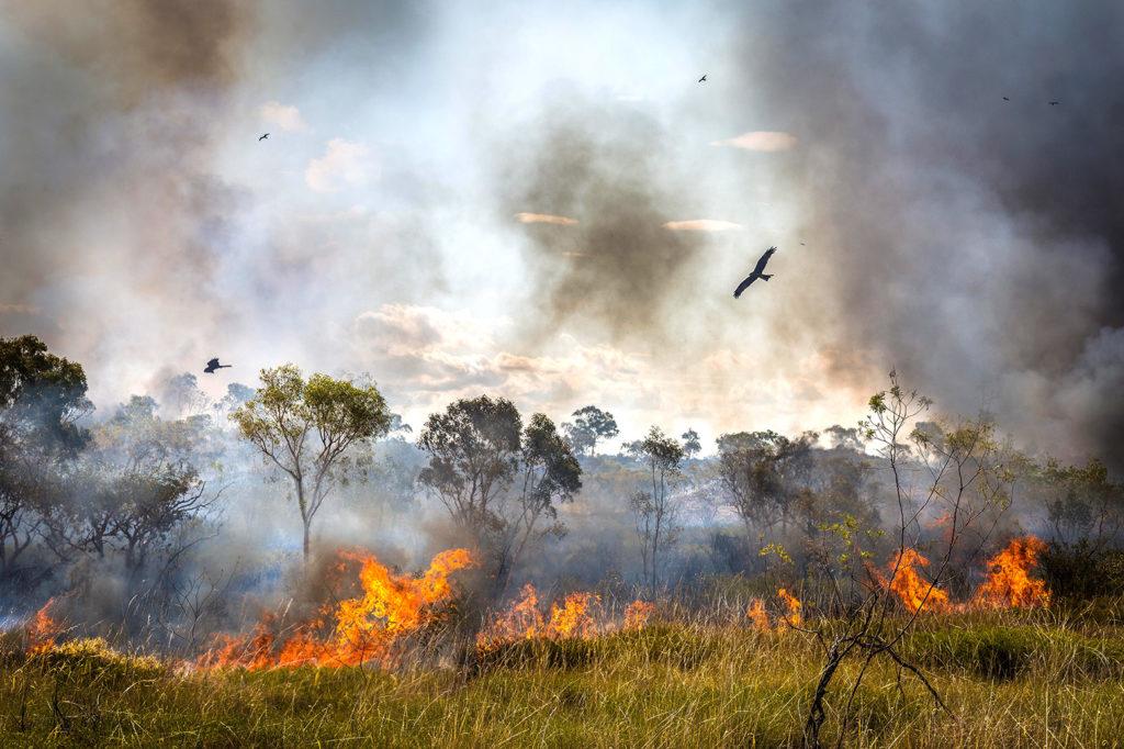 Black Kite flee a bushfire in Northern Territory, Australia on 9 December 2016. Credit: Brad Leue / Alamy Stock Photo. HTWDYA