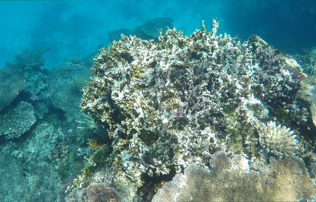 Coral bleaching off the coast of Townsville, Australia. Credit: Daisy Dunne / Carbon Brief.