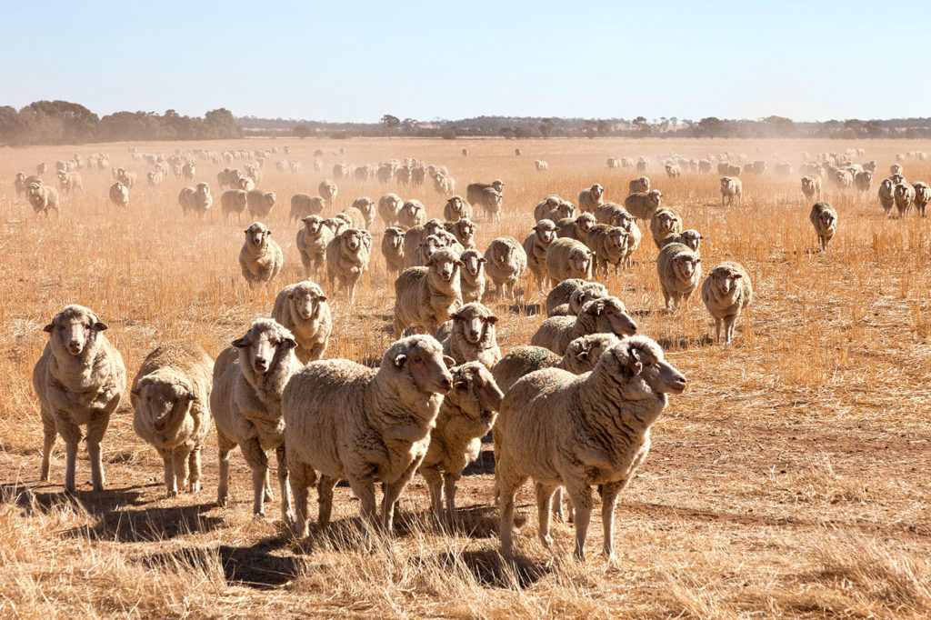 A herd of sheep on the Tin Horse Highway in Western Australia. Credit: Julie Mowbray / Alamy Stock Photo. E1W8MN