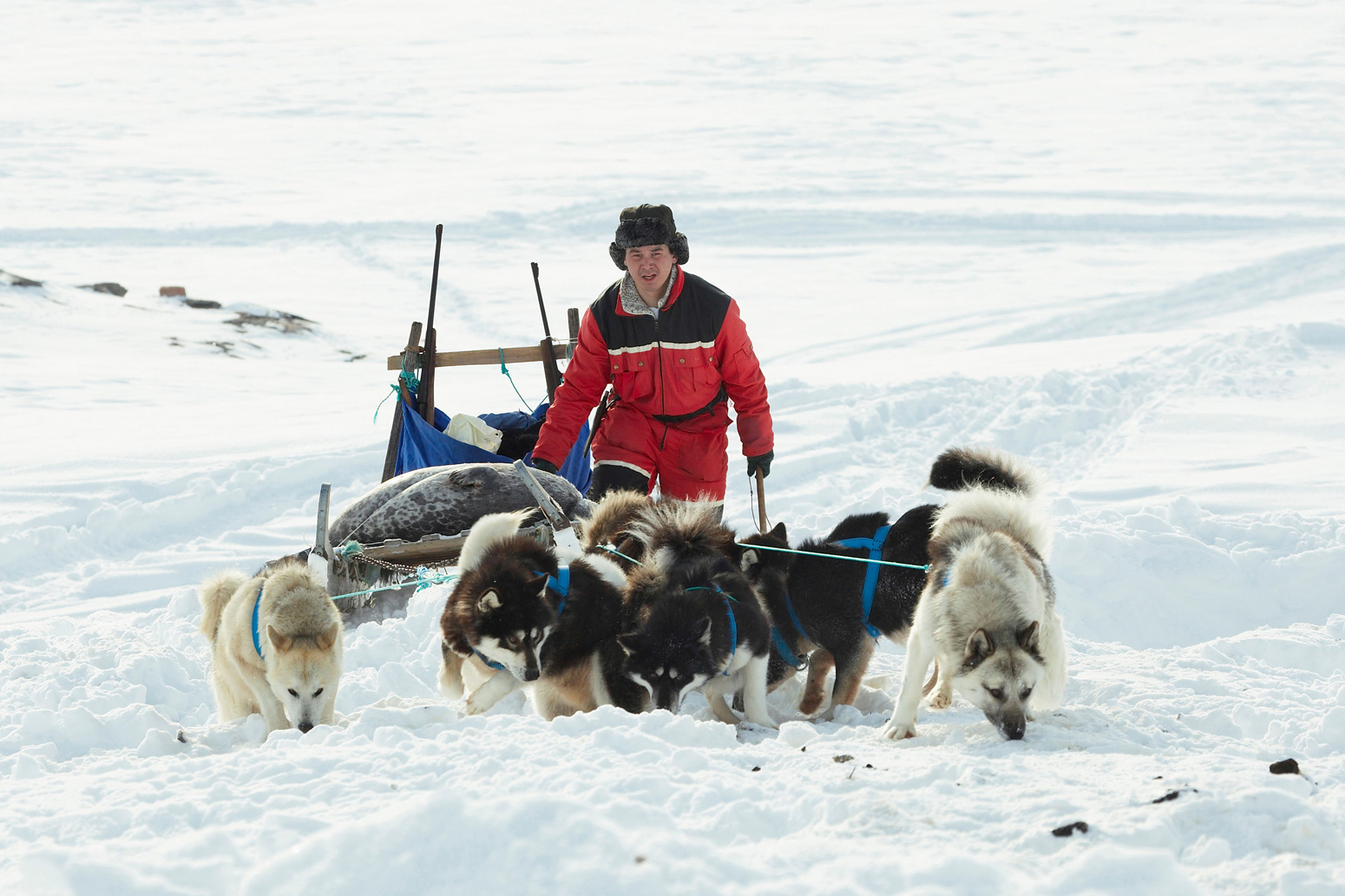 Sealer-transporting-two-dead-seals-on-his-dog-sledge-Greenland