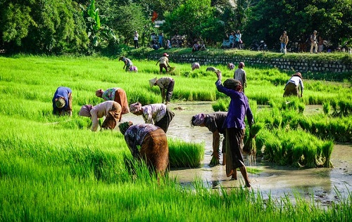 Rice Harvesting in Viet Nam