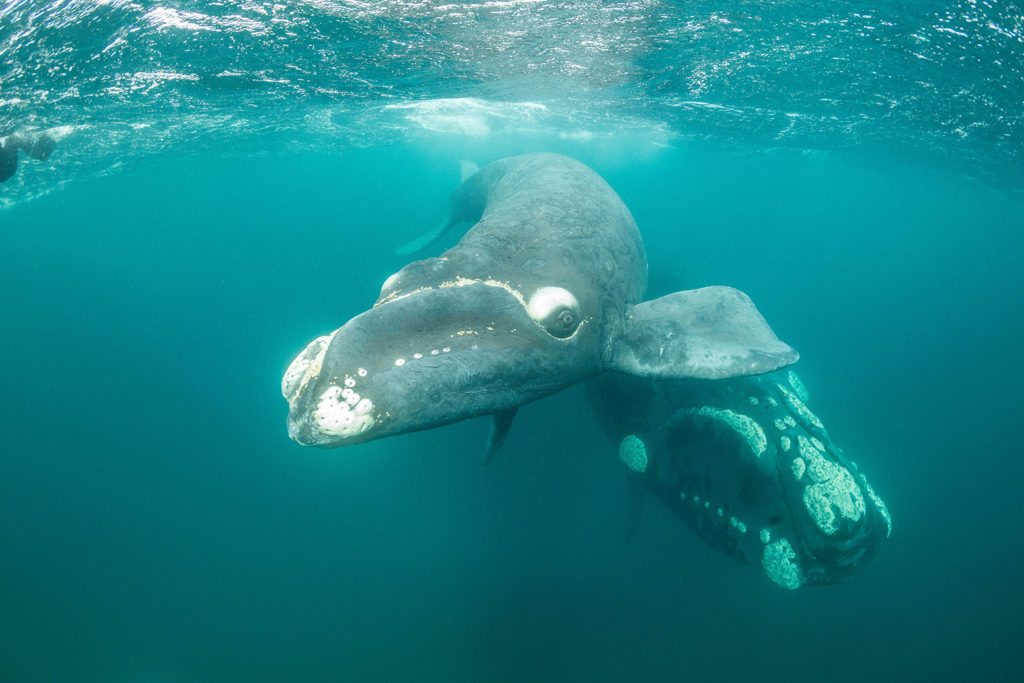 Southern right whale and her calf, Valdes Peninsula, Argentina. Credit: Wildestanimal / Alamy Stock Photo. PT4BH6