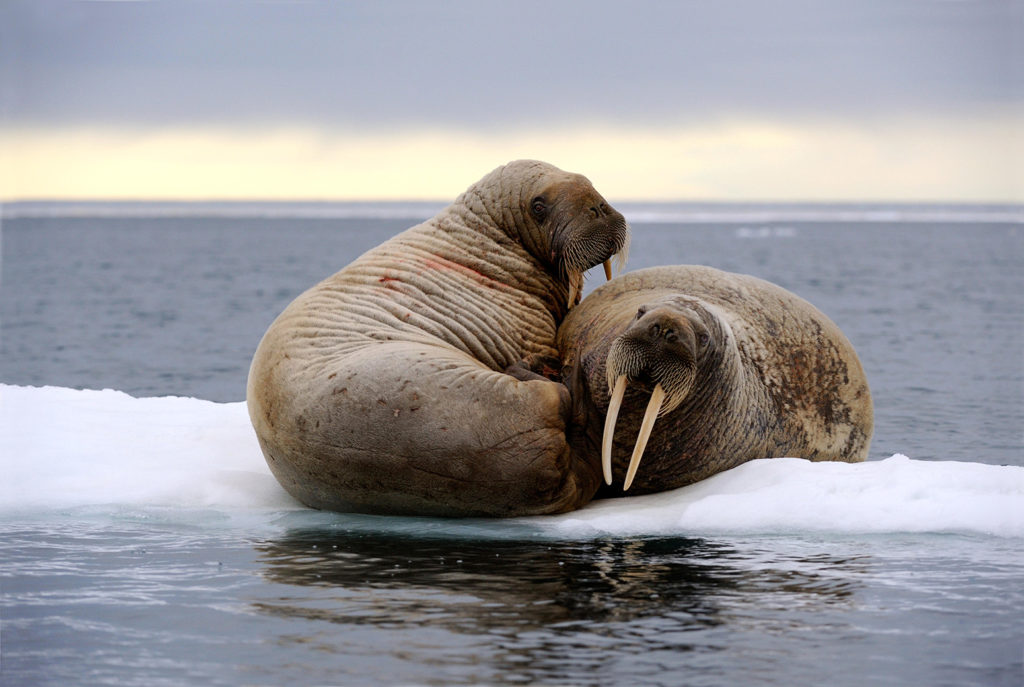 Walrus in Foxe Basin, Canada. Credit: Nature Picture Library / Alamy Stock Photo. HY01GF