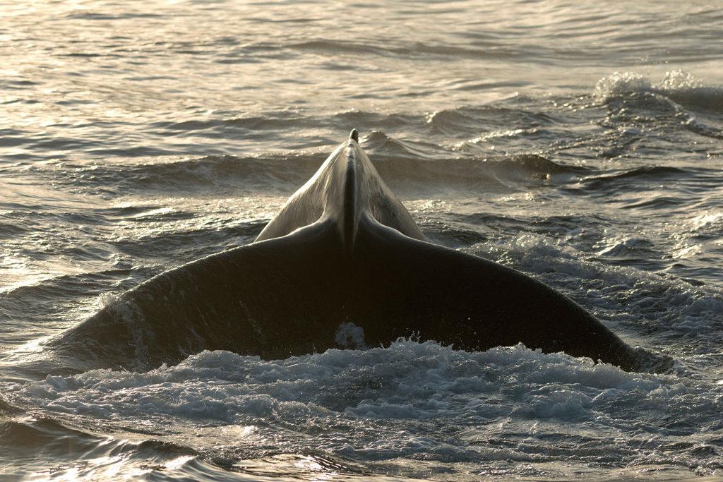 Fluke of a diving Humpback Whale (Megaptera novaeangliae), Barents Sea, Nordaustlandet, Svalbard Archipelago. Credit: imageBROKER / Alamy Stock Photo