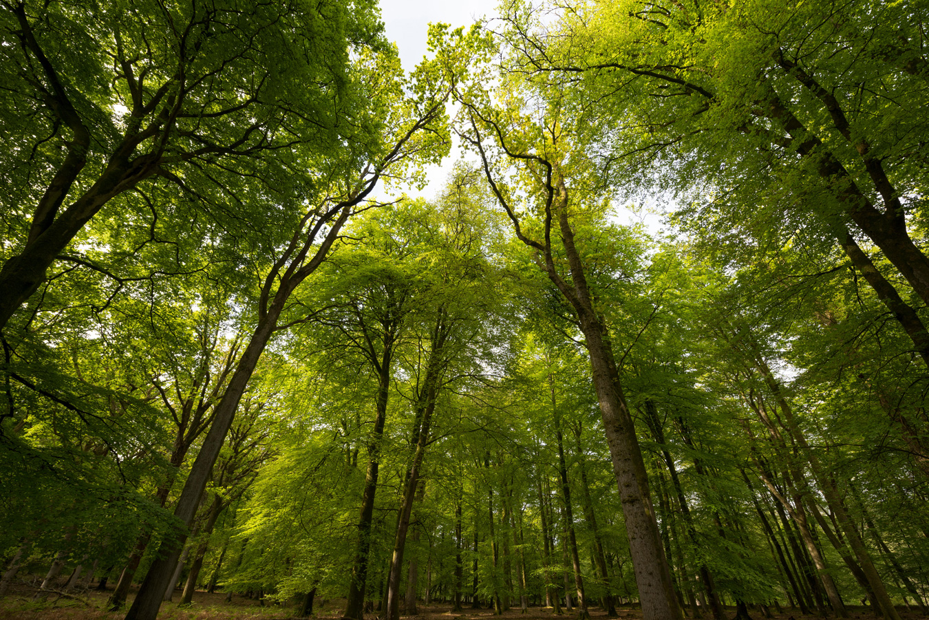 An inclosure of beech trees in the New Forest, Hampshire, UK. Credit: Brian Fairbrother / Alamy Stock Photo.