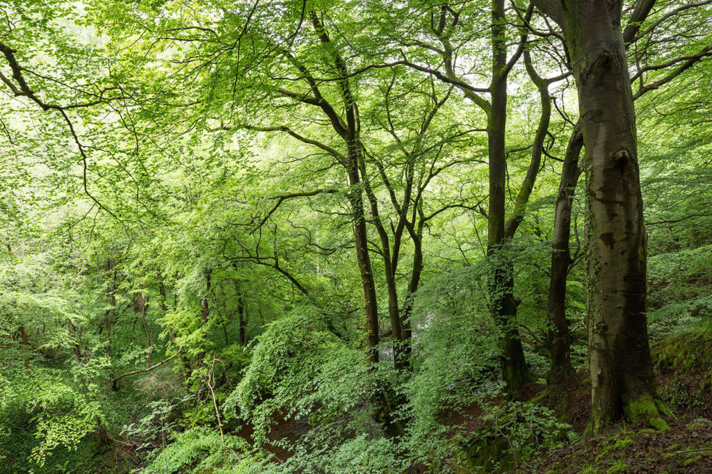 Ancient beech woodland, Clydach Gorge, Wales, UK. Credit: Chris Howes/Wild Places Photography / Alamy Stock Photo. E73R8N