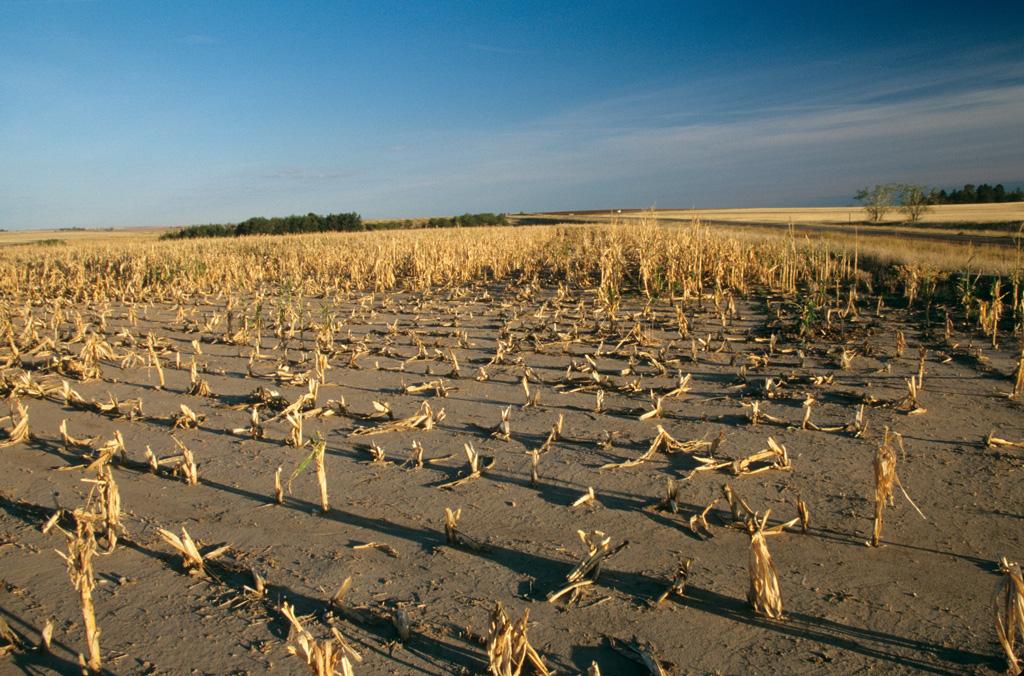 Crop failure due to drought, Nebraska, USA.