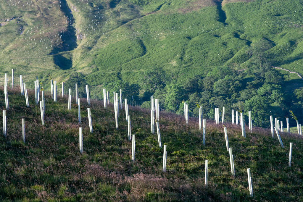 Newly planted trees on moorland, as part of a habitat restoration scheme in the Yorkshire Dales